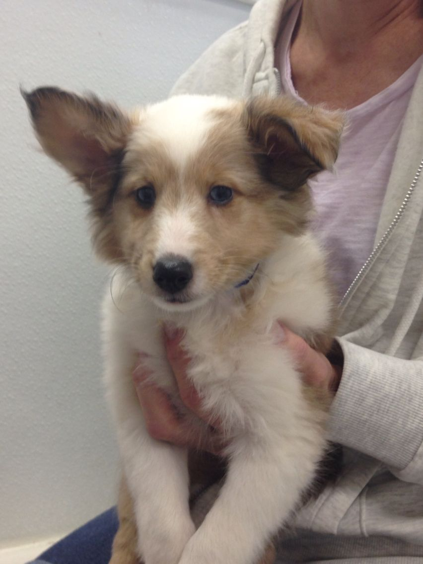 Beautiful sheltie puppy with a rare color mixture this