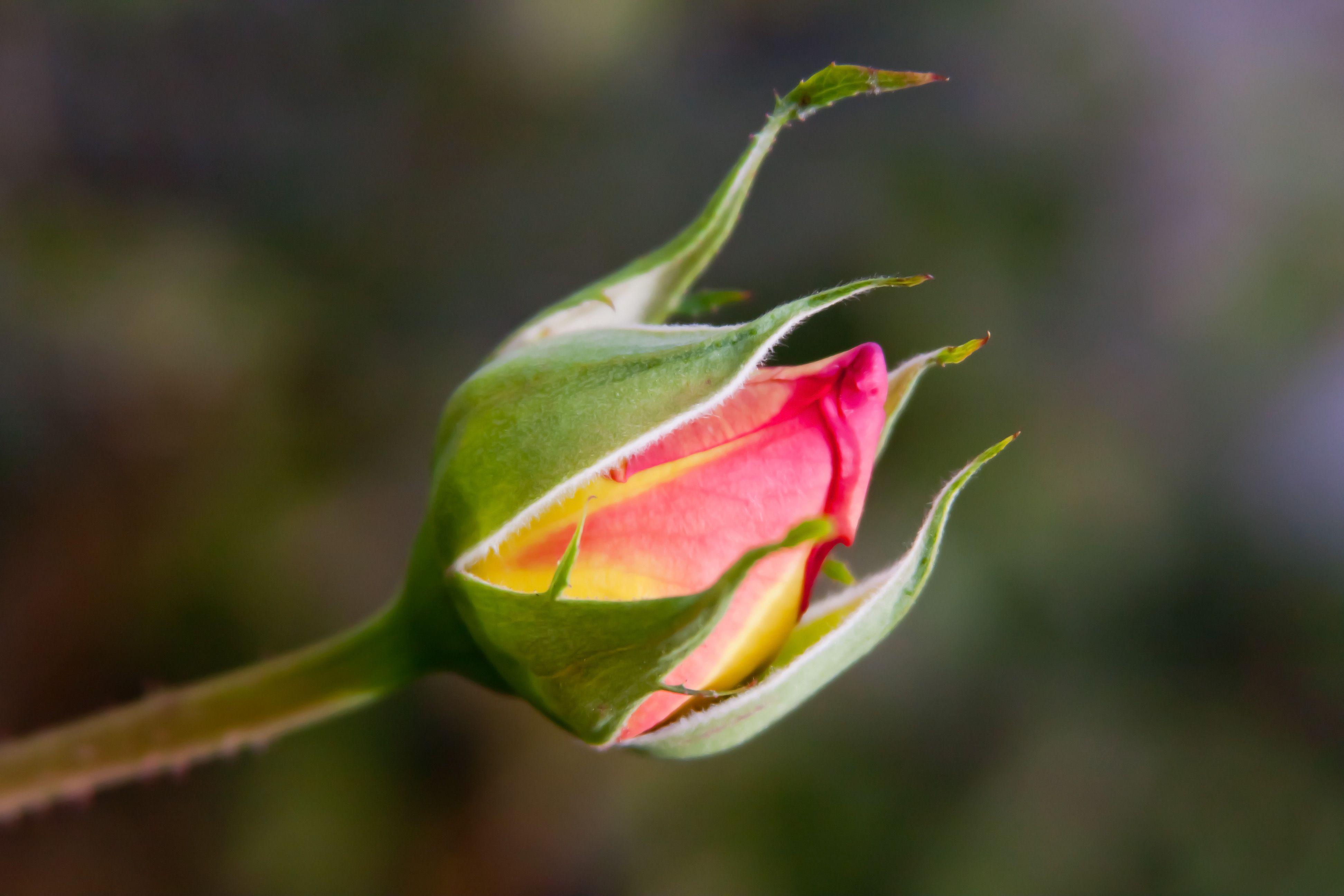 Rose bud pesquisa google roses garden pinterest roses garden