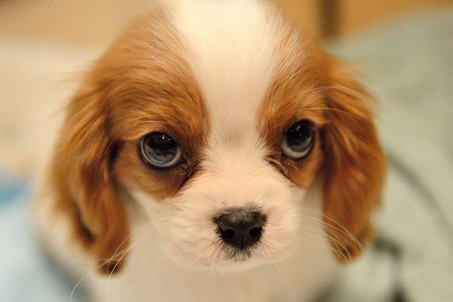 Goliath Cavalier King Charles Dog King Charles Dog King Charles Cavalier Spaniel Puppy