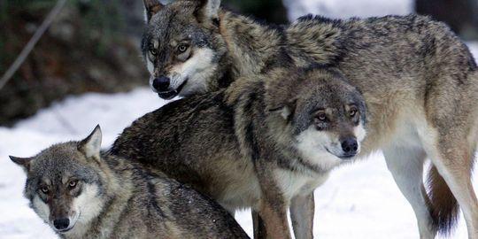 La politique de protection du loup dans l'impasse