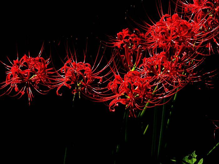 Red spider lily flower wallpapers Picture 15