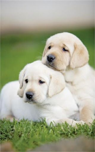 Dog Download Apps Labrador Wallpapers With Lovely Pictures Of A Laboratory Br Get Wallpaper Wit Retriever Puppy Labrador Retriever Puppies Popular Dog Breeds