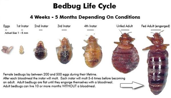 Travelers Worry Are Bed Bugs Really That Disgusting Bed Bugs
