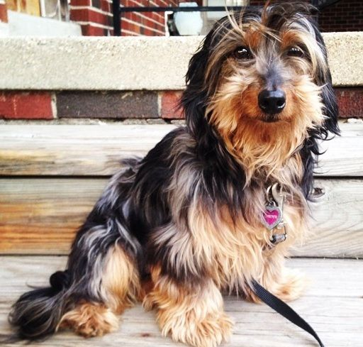 14 Unreal Yorkshire Terrier Cross Breeds You Have To See To Believe Toy Dog Breeds Yorkshire Terrier Biewer Yorkie