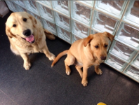 Reunited 2 Golden Labradors Lysterfield Melbourne Vic 3156