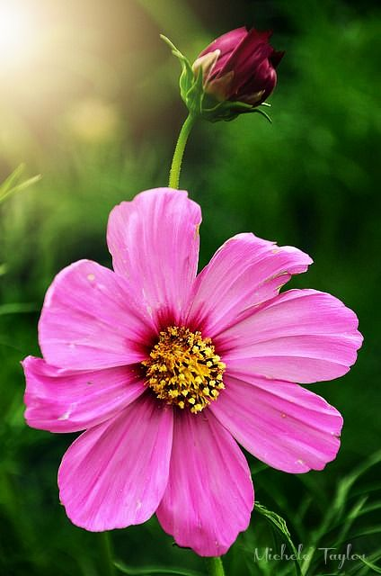 Pretty Cosmos Flower Cosmos Flowers Different Types Of Flowers Beautiful Flowers