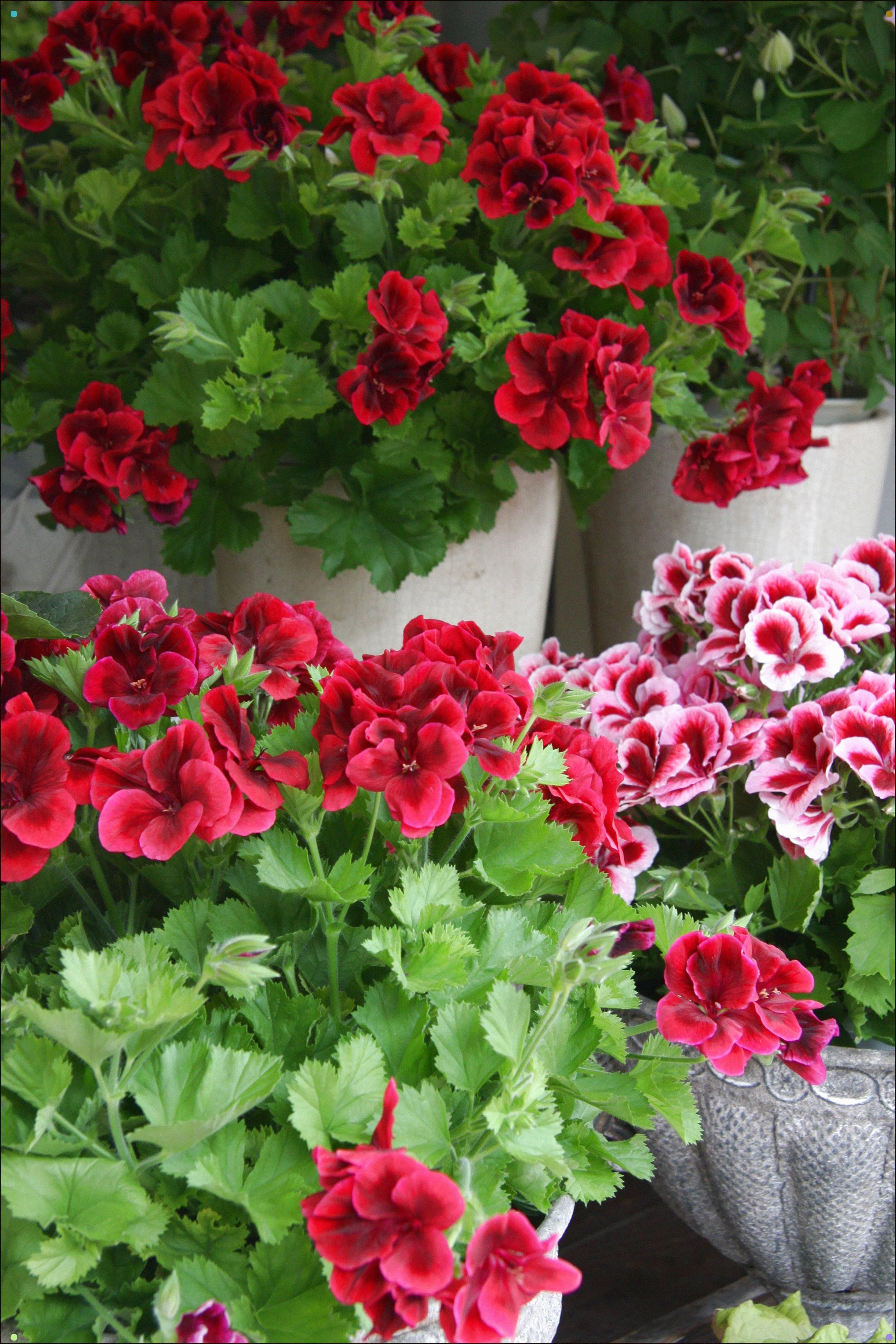 Pelargoniums Geraniums, Flower pots