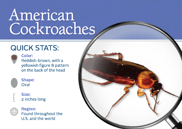 Cockroach Facts And Stats On American Cockroaches Cockroaches