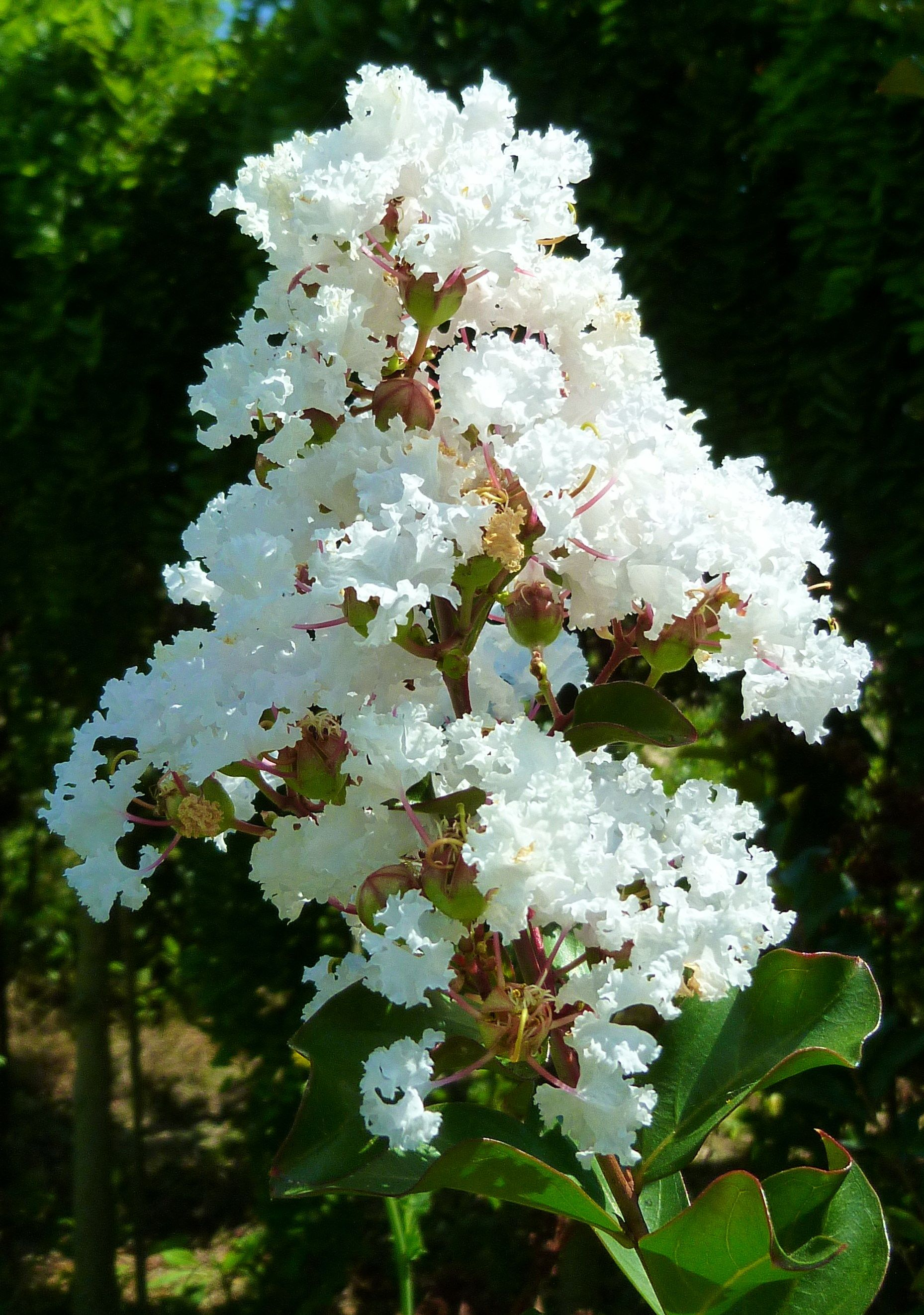 Lagerstroemia Indica Nivea Such An Elegance White Flowers Look