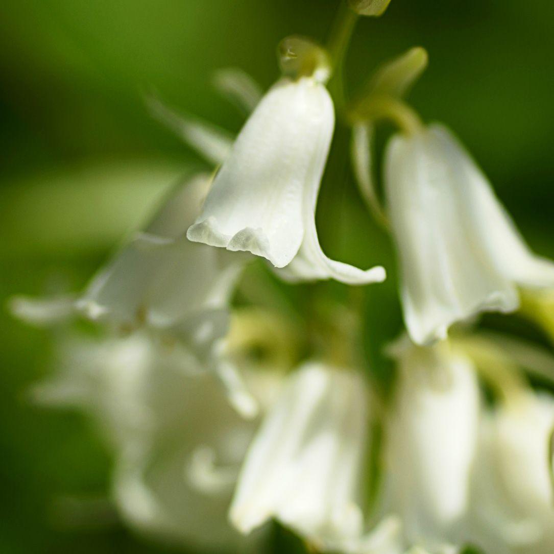 White Bluebell Flower Essence Flower Essences Blue Bell Flowers Bach Flower Remedies