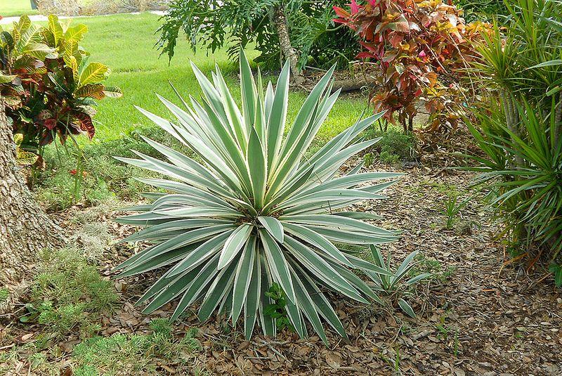 Sarasota Spanish Plant Yucca plant, Yucca