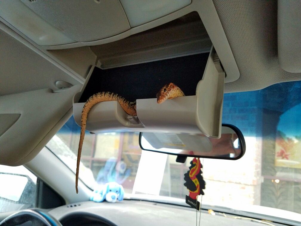 How To Get A Lizard Out Of Your Car