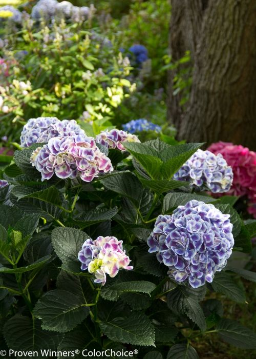 Height 1 3 Spacing 2 4 Exposure Sun Or Partial Sun Hardy Temp 20 F 28 C Uses Compact V Bigleaf Hydrangea Hydrangea Macrophylla Hydrangea Not Blooming