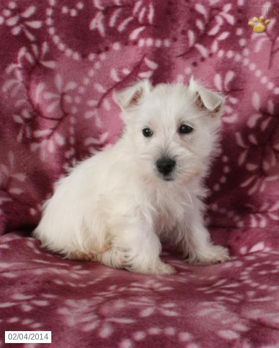 West Highland White Terriers West Highland White Terrier Puppy