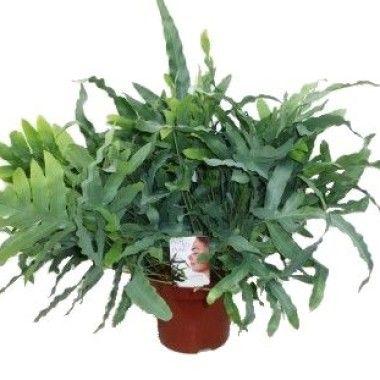 phlebodium aureum phlebodium pinterest. Black Bedroom Furniture Sets. Home Design Ideas