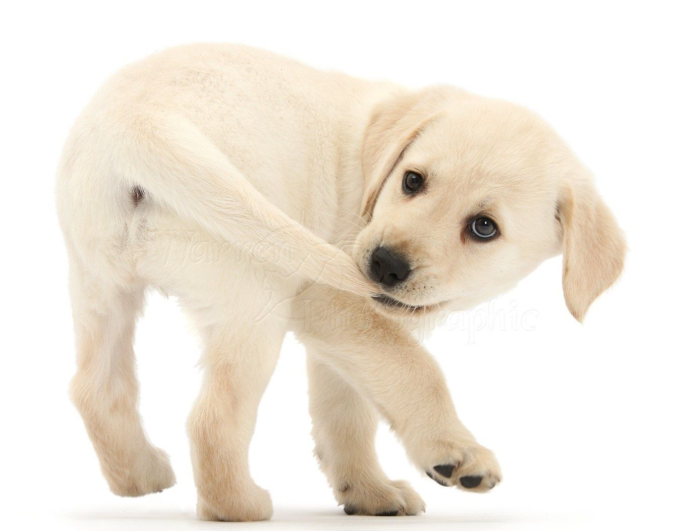 The Best Accessories For You And Your Dog Buyfordog Dog Doglove Dogphoto Cutedog Cuted Retriever Puppy Labrador Retriever Puppies Yellow Labrador Puppy