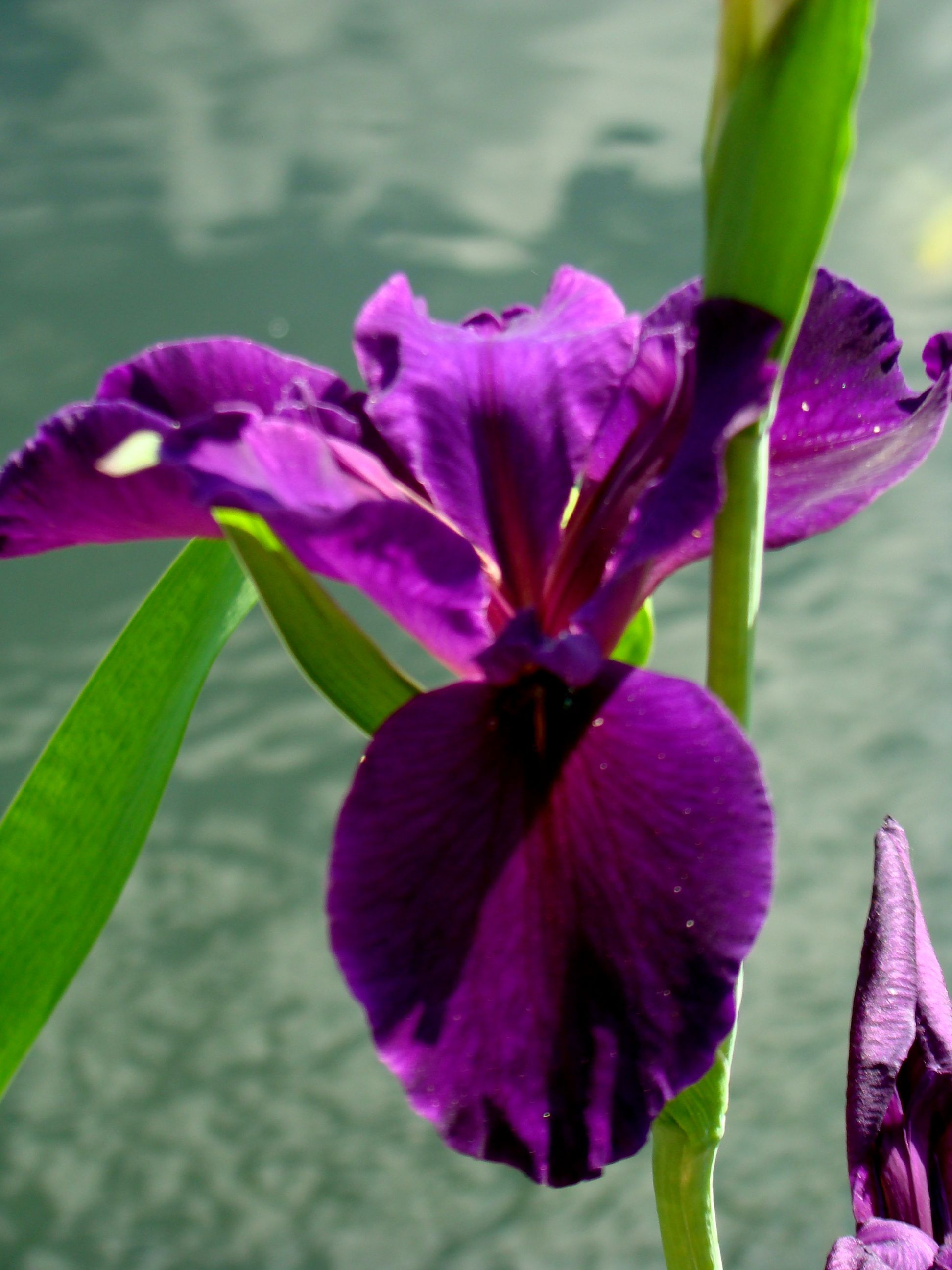 Black Flag Iris For Your Pond Koi Pond Water Features Pond