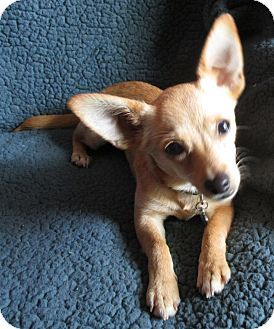 Raleigh Nc Chihuahua Mix Meet Troy A Puppy For Adoption Http