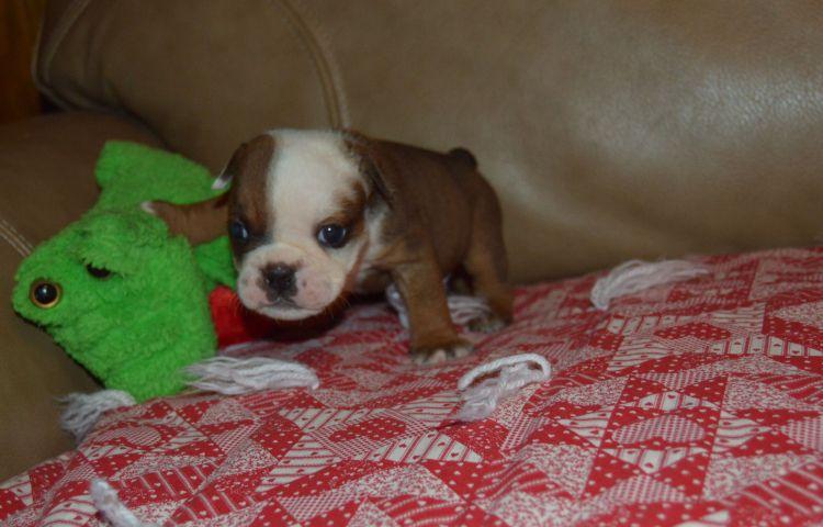 English Bulldog Puppies For Sale Tn Tennessee Akc Bulldogs English