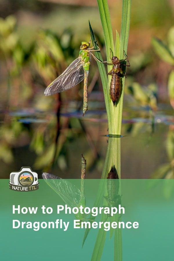Spring is a great time to photograph emerging insects. Learn how to find and photograph their incredible metamorphosis in this tutorial.  #NatureTTL #Dragonfly #NaturePhotography #MacroPhotos #Spring #SpringPhotography