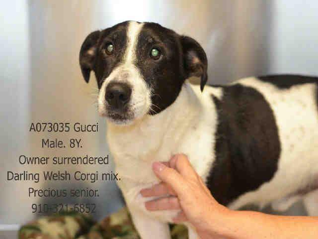 Cardigan Welsh Corgi Dog For Adoption In Fayetteville Nc Adn