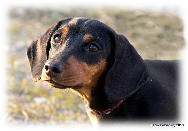 I M A Beautiful Dog Dachshund Dogs Black And Tan Dachshund