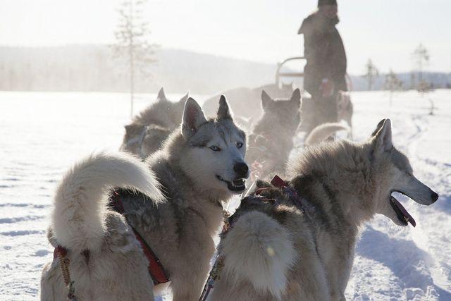 Husky Safari In Lapland Finland Lapland Dog Sledding Finland