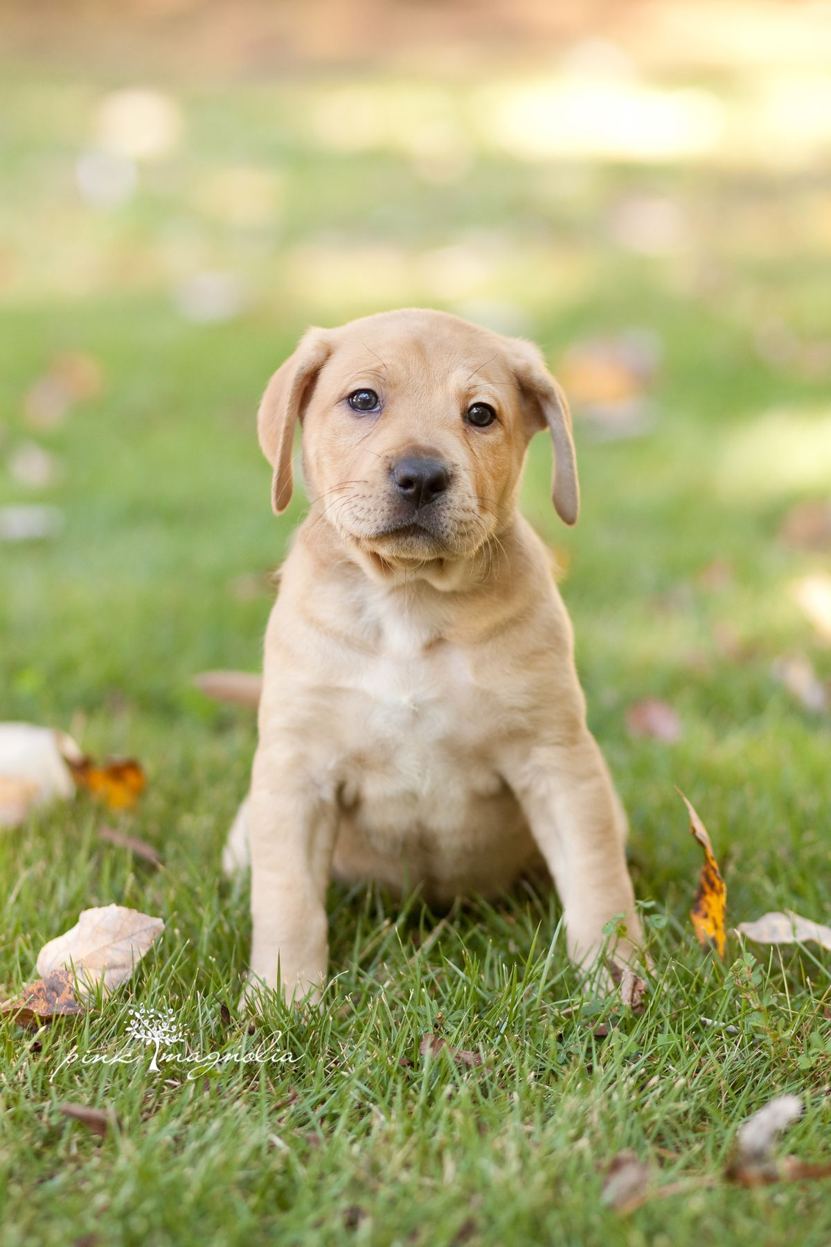 ADOPTED! Maddie is a darling lab mix puppy who is