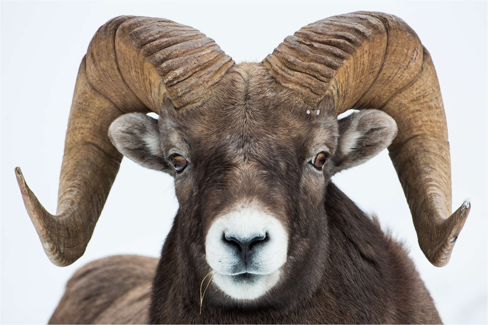 Ram Animal Astro Aries Animal Kingdom Pinterest