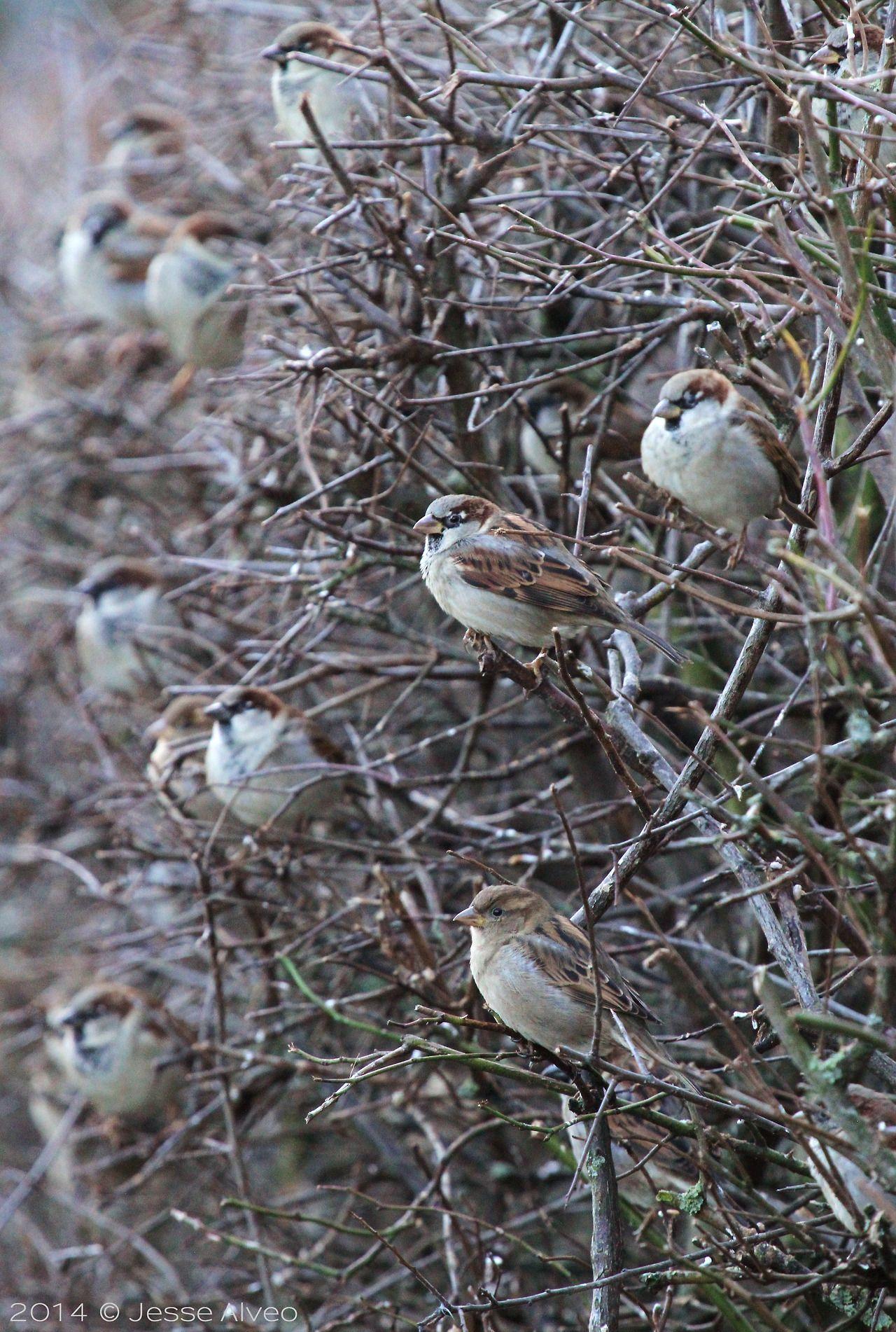 birdsonly:  House Sparrow congregation II House Sparrow ~ Haussperling ~ Passer domesticus 2014 © Jesse Alveo