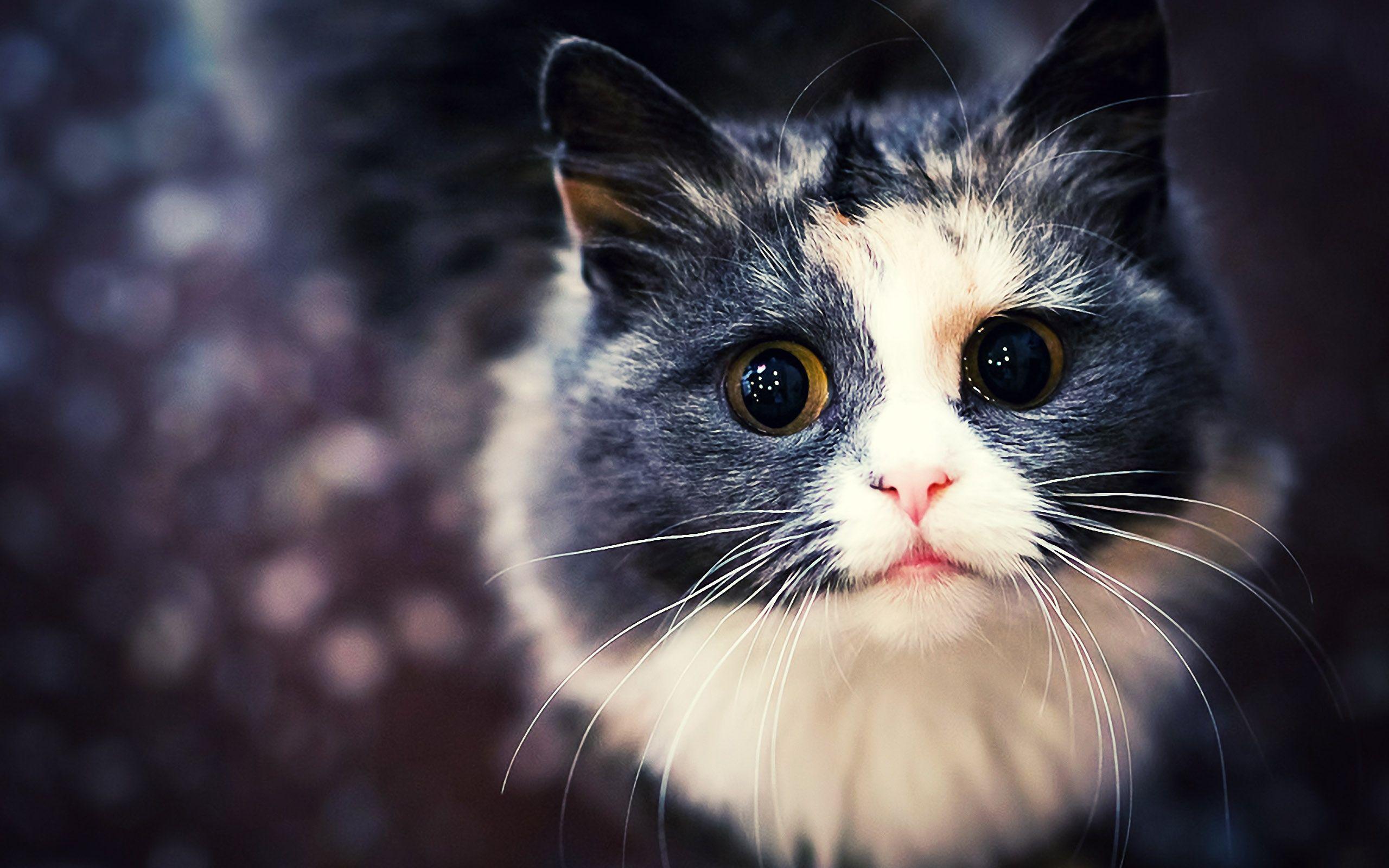 cat hd wallpapers : animal wallpaper - horadent | cats & kittens