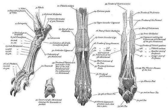 Muscle Bone Structure Charts Dog Anatomy Greyhound Grey