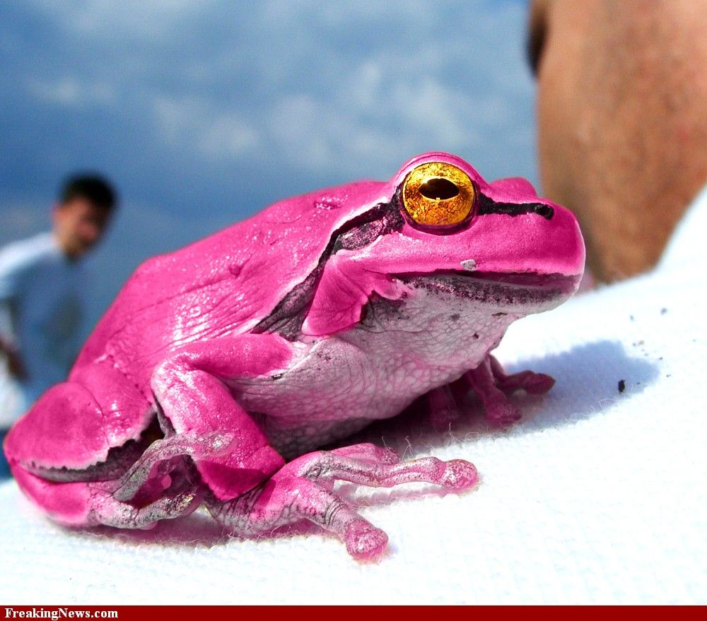Amazing Frog: Pink Frog Hi-res Pictures