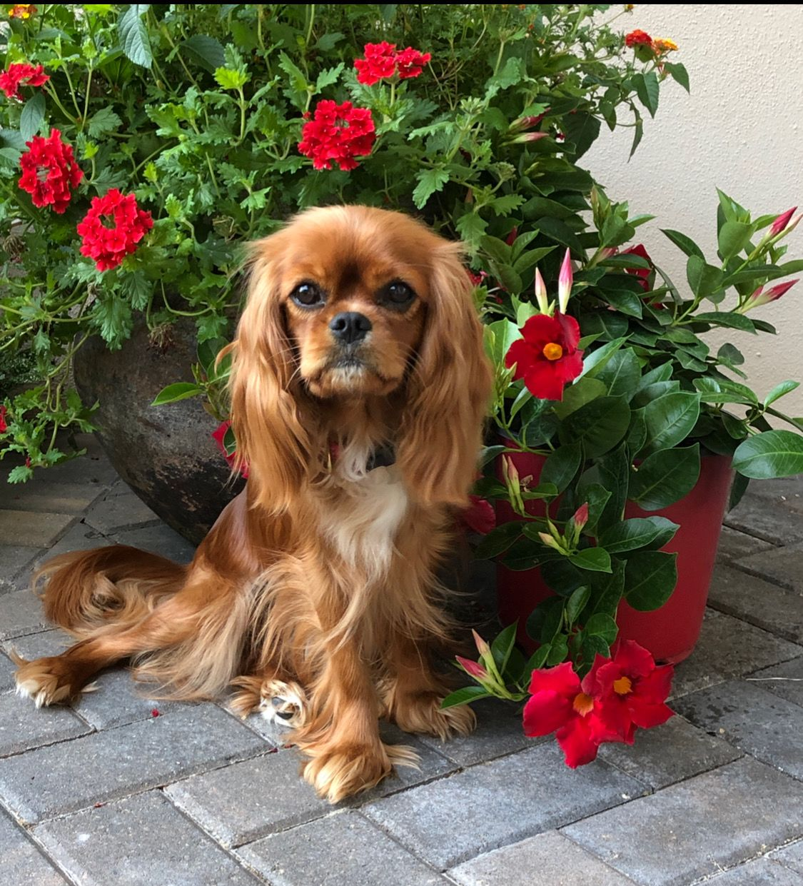 Ruby Cavalier King Charles Spaniel King Charles Cavalier Spaniel Puppy Cavalier King Charles Dog Cavalier King Charles
