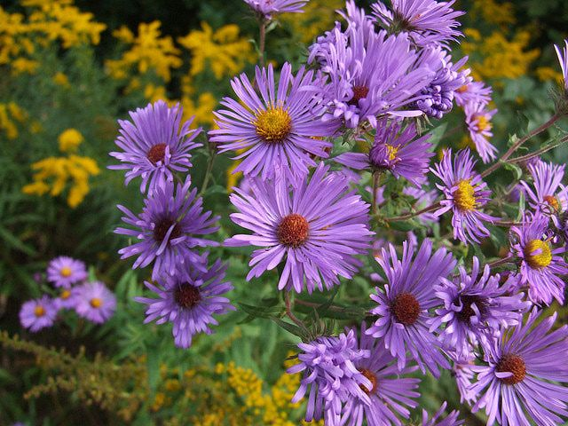 Use These Tips To Grow Asters As Houseplants Plants Feng Shui Plants Houseplants