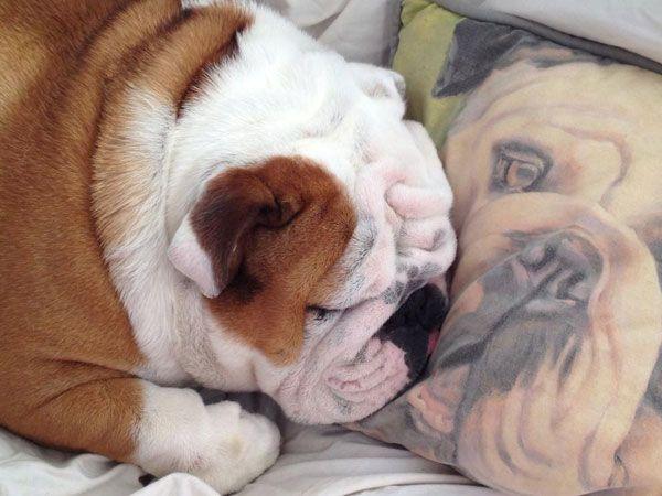 Let S Sleep Together Shall We Englishbulldogs Britishbulldogs