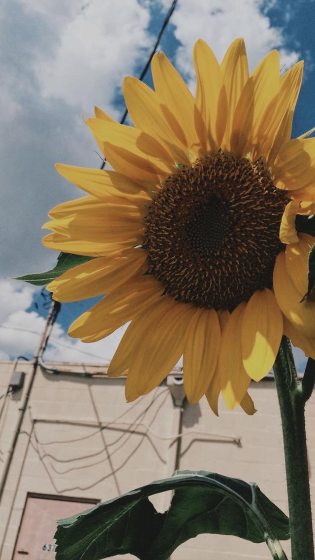 Sunflower Wallpaper Vintage Aesthetic