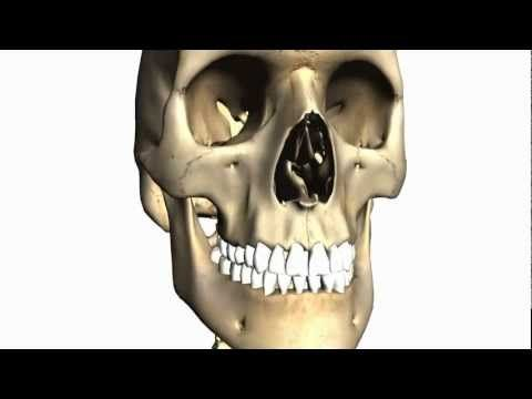 Anatomy Of The Head & Neck - Skull > Cranial Fossa 01 | 3D anatomy ...