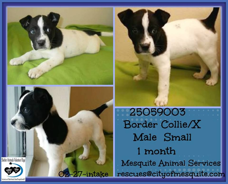 Shelter Animals of Garland, Mesquite, Rowlett, Royse City & Surroundings Page Liked · Yesterday · Edited ·    25059003 Border Collie/X Male Small Black/White intake-02/27 1 month old!!!  MESQUITE ANIMAL SERVICES