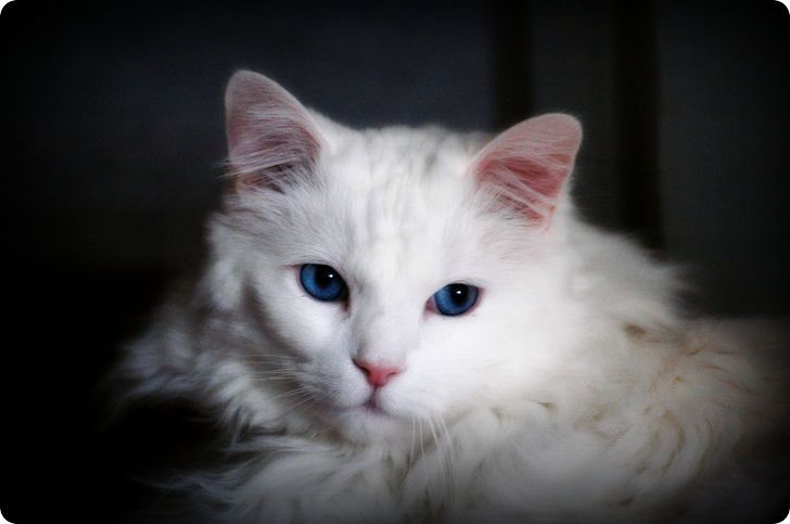 d9ae038732 Looks like my Polar Bear.- blue eyed white turkish angora cat