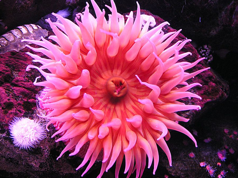 A Kid S Photo Photo Of An Anemone Sea Anemone Ocean Plants Anemone