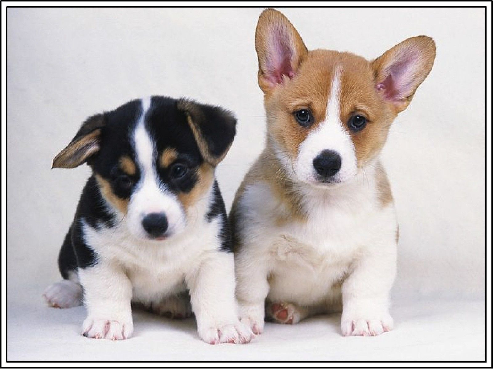6 39 4set Dog Pembroke Welsh Corgi Puppy Dogs Puppies Greeting