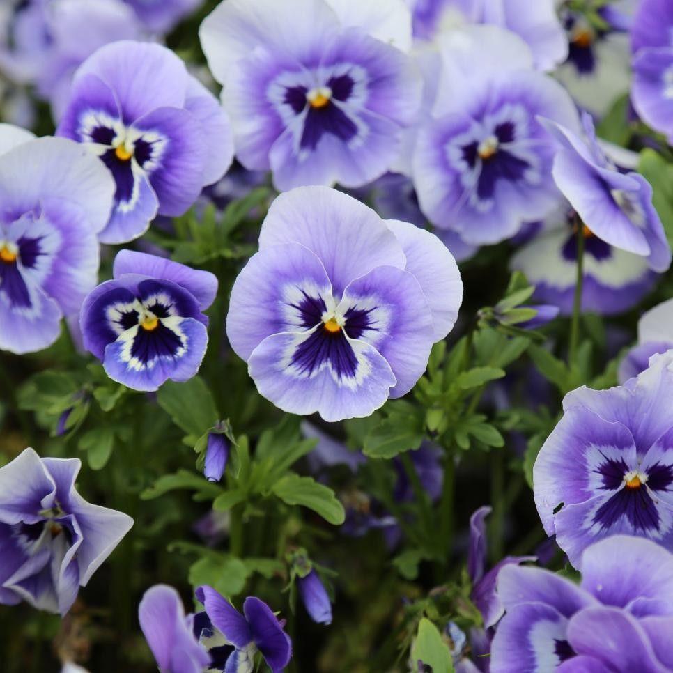Pin by Deborah Shephard on flower planting Annual