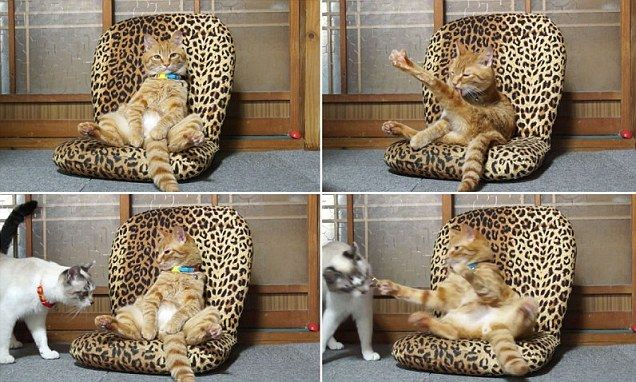 TyaTora the cat strikes a human-like pose in a leopard-print throne & TyaTora the cat strikes a human-like pose in a leopard-print ... islam-shia.org