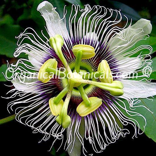 Passiflora Edulis Passion Flower Vine Seeds Flowering Vines Passiflora Passion Flower