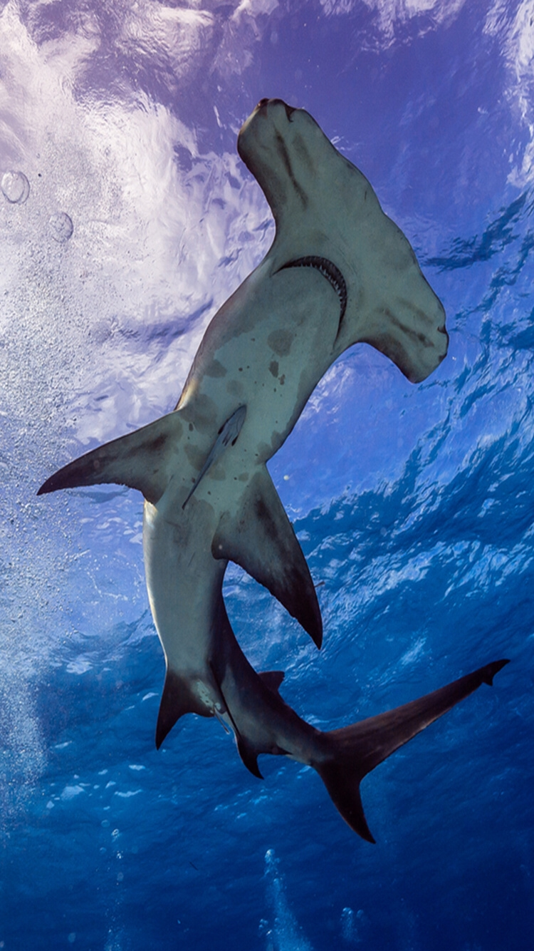 Hammerhead Shark Sea animals, Animals