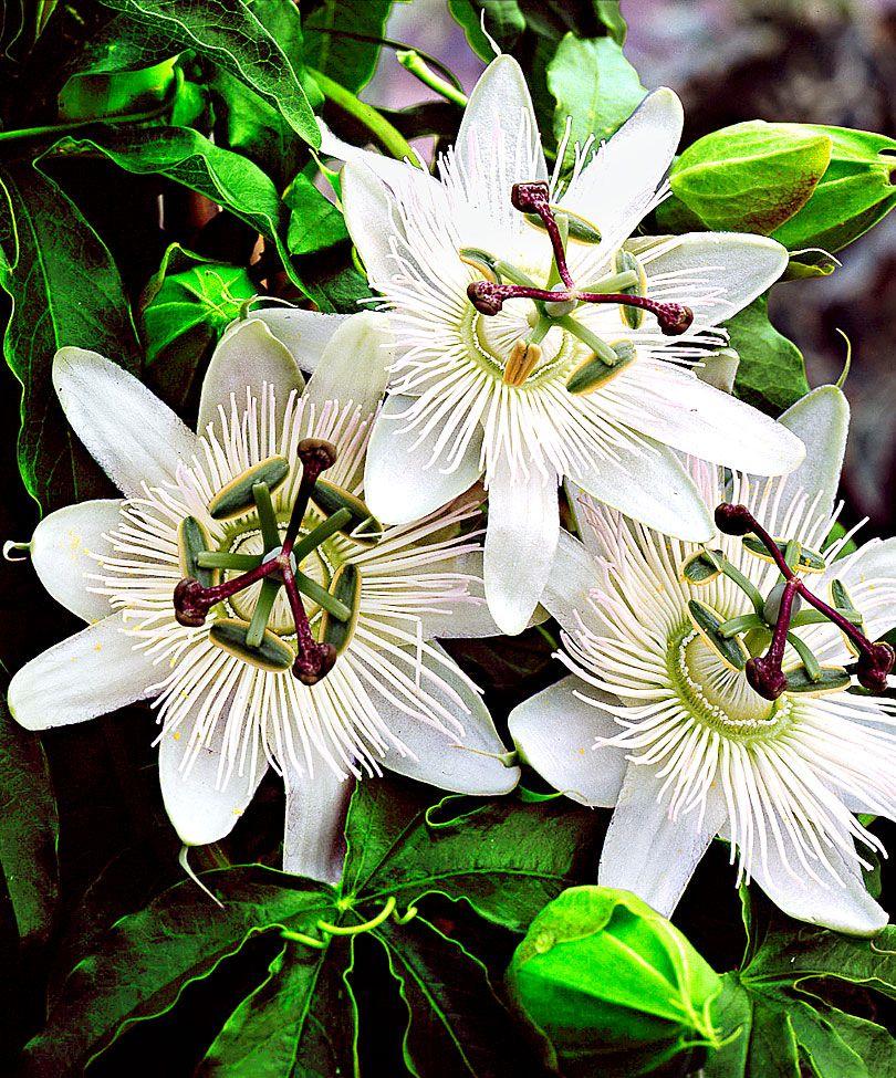 Passiflore Constance Elliot Plante Grimpante Passiflora Caerulea