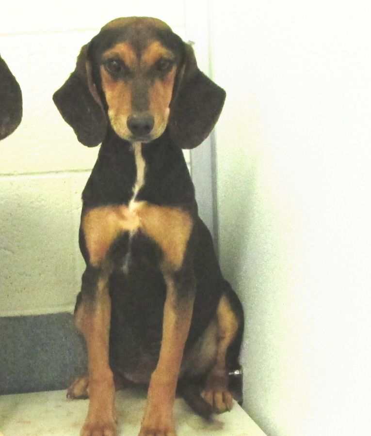 Black & Tan Coonhound F 10-12 months 27 lbs. named Milly in Amherst, VA @ Humane Society of Amherst County