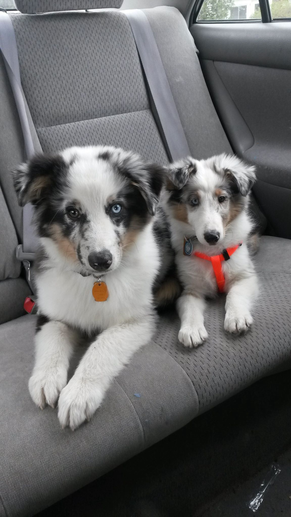 Blue Merle Sheltie With His Blue Merle Aussie Brother Cute
