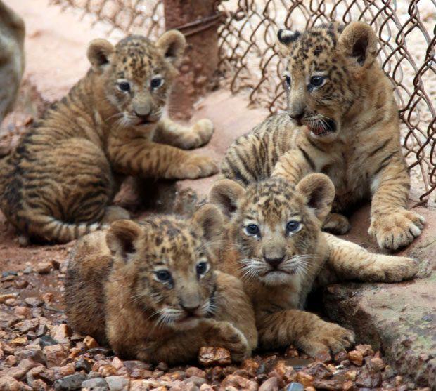 Tigon Cub  Tiger Dad   Lion Mom